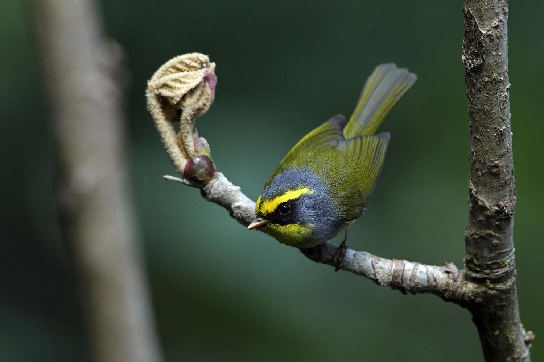 Black-faced Warbler by Rohan Pandit