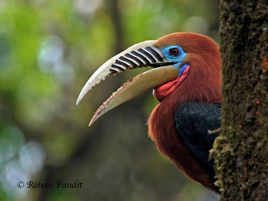 Rufous-necked Hornbill by Rohan Pandit