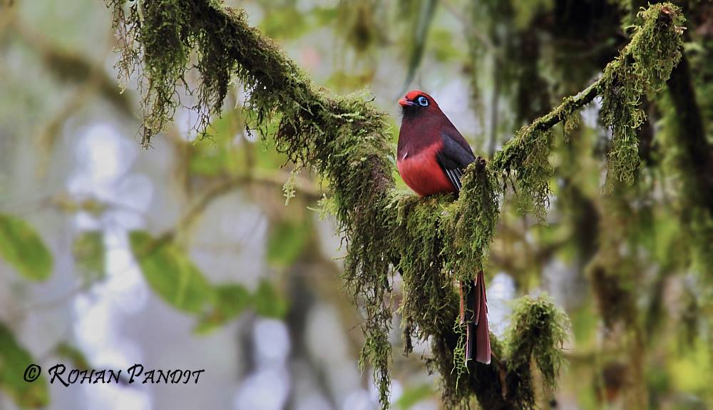 Ward's Trogon by Rohan Pandit
